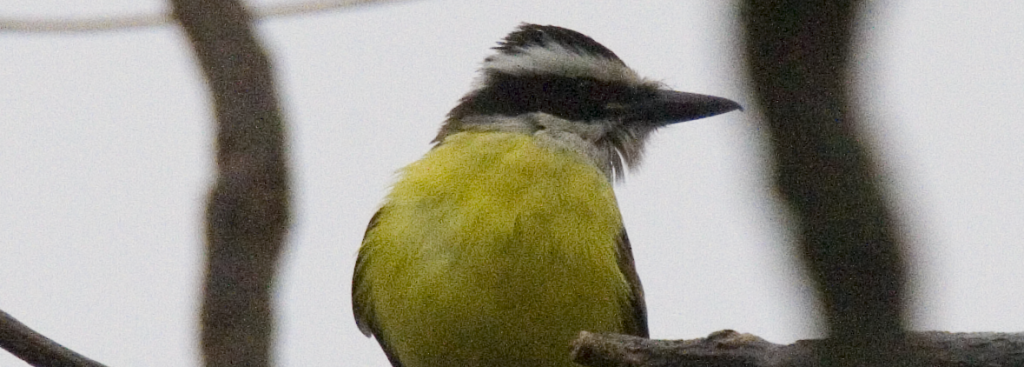 Male Great Kiskadee